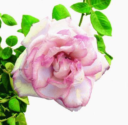 A Peachy Rose