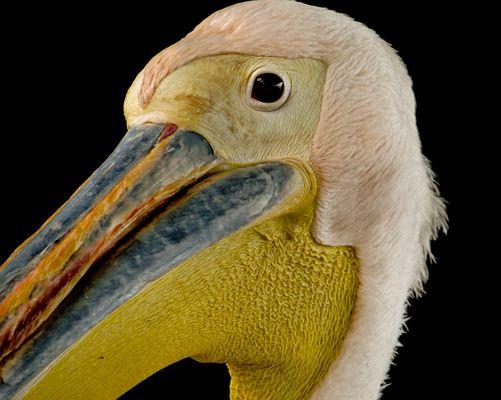 A pelican portrait