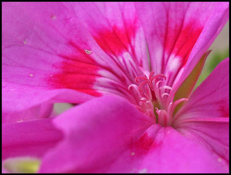 A Pink Flower1