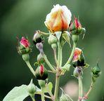 A que hora nacen las rosas?