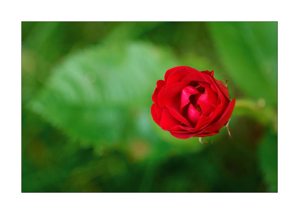 A red, red rose ...