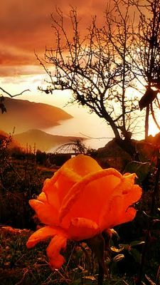 a rose alone in the mountains