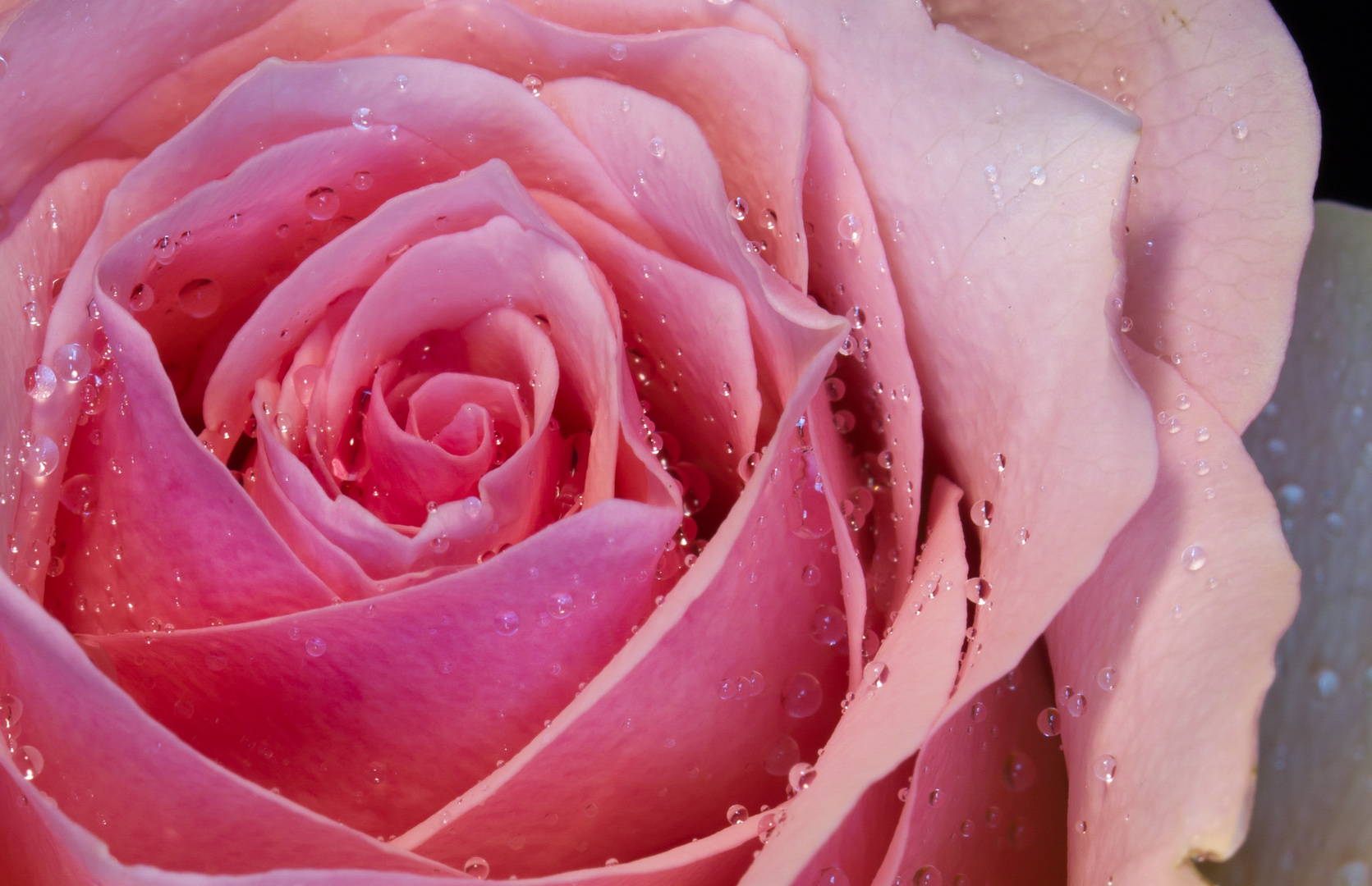 A rose is like a rose