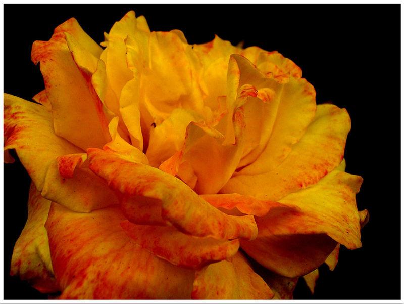 A Rose1
