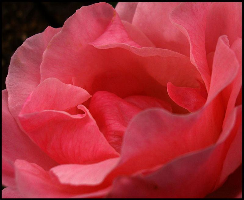 A Rose2