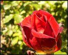 A Rose4