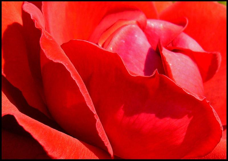 A Rose5