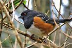 A Rufous-Sided Towhee