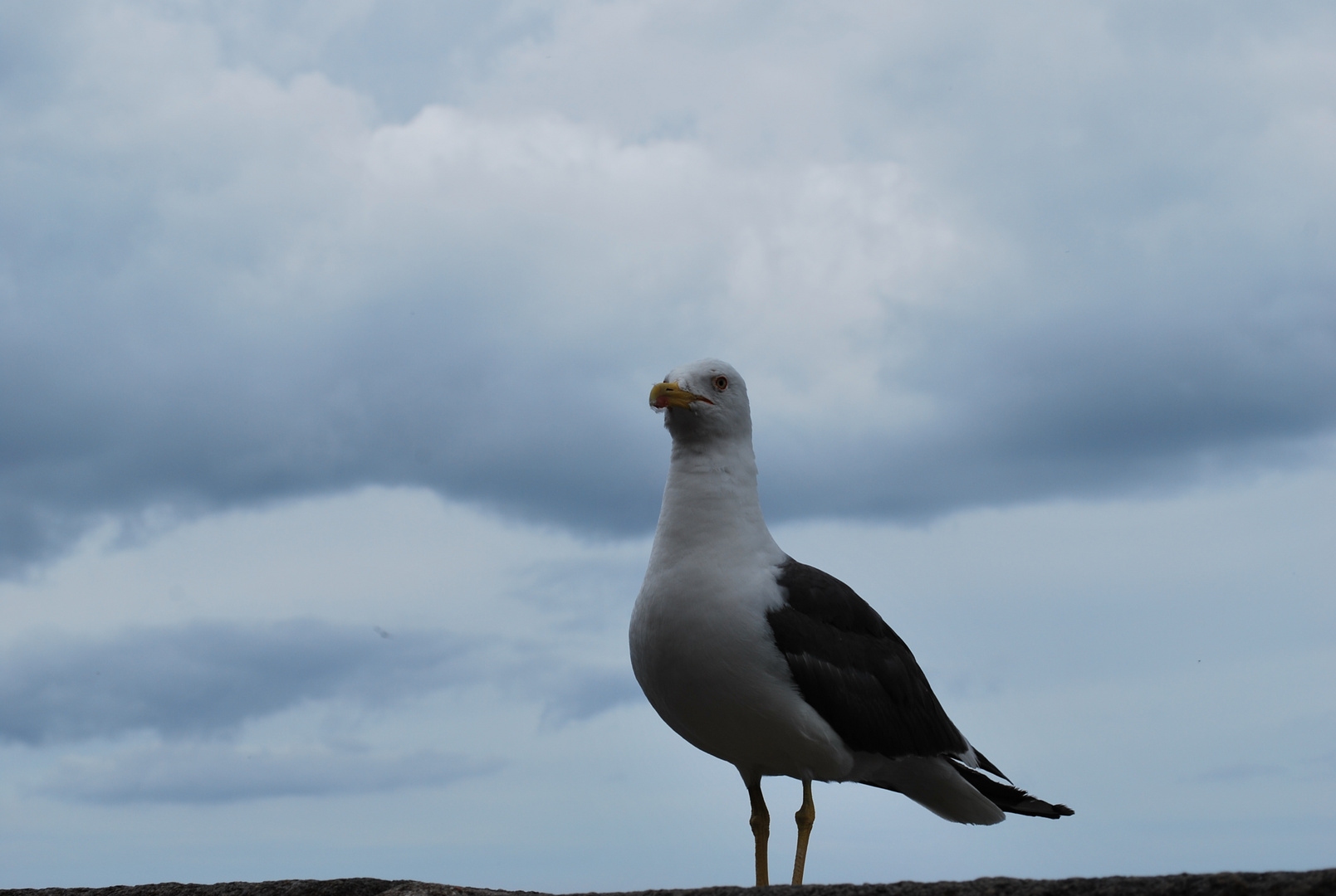 A Saint-Malo un oiseau contemplait les hommes ...