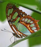 A Schmetterling halt