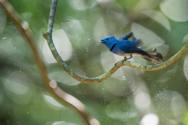 A small Black-naped Monarch in Thailand's jungle
