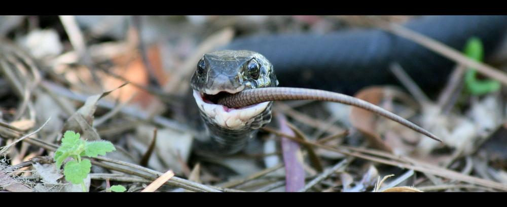 A snake is eating a lizard....