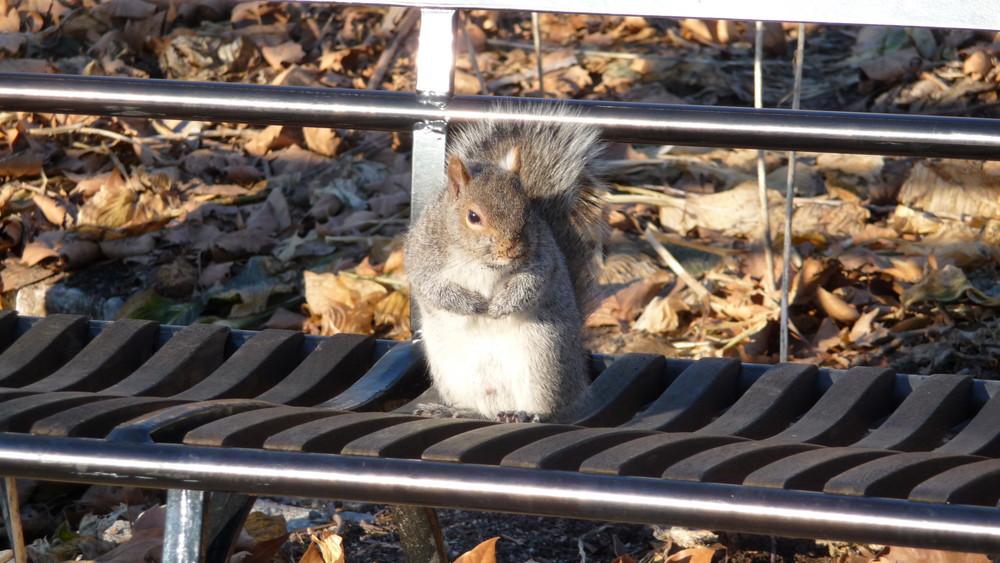 A Squirrel in Manhatten