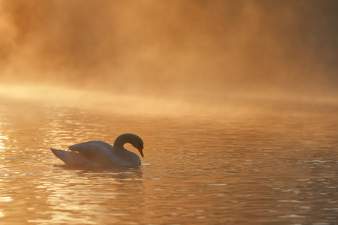 A Swan's Morning