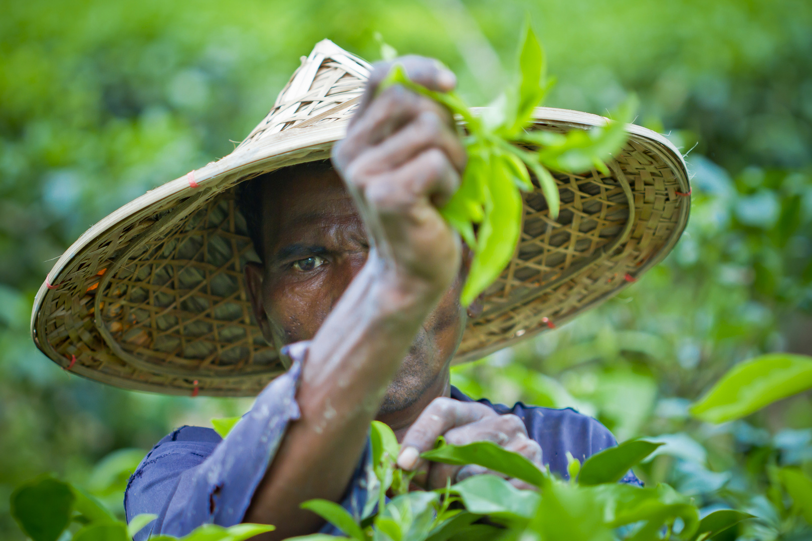 A Tea plantation Worker closeup.