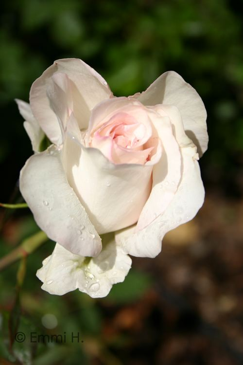 A white rose.