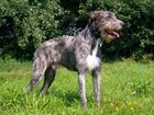 A young Hound