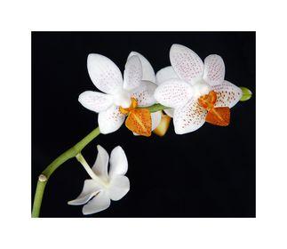(Gewächs-)Hausorchideen