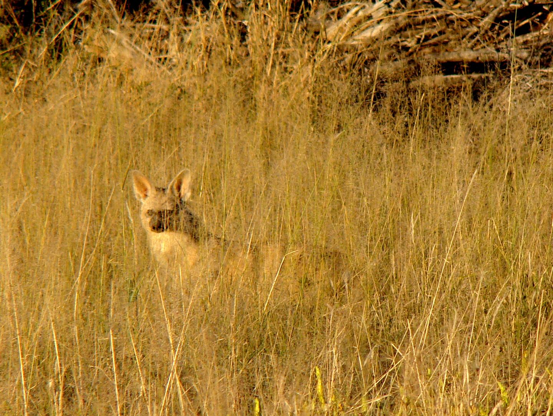 Aardwolf---(Familie der Hyänen)