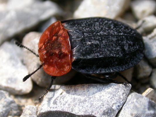Aaskäfer