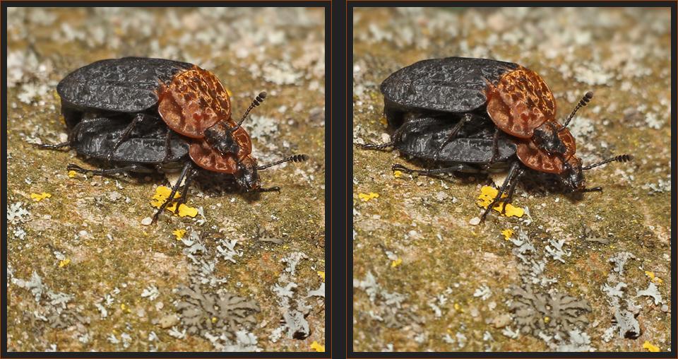 Aaskäfer [3D]