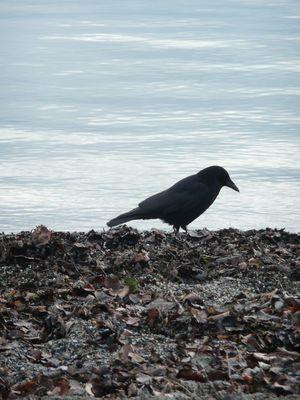Aaskrähe (corvus corone, corneille noire, carrion crow)