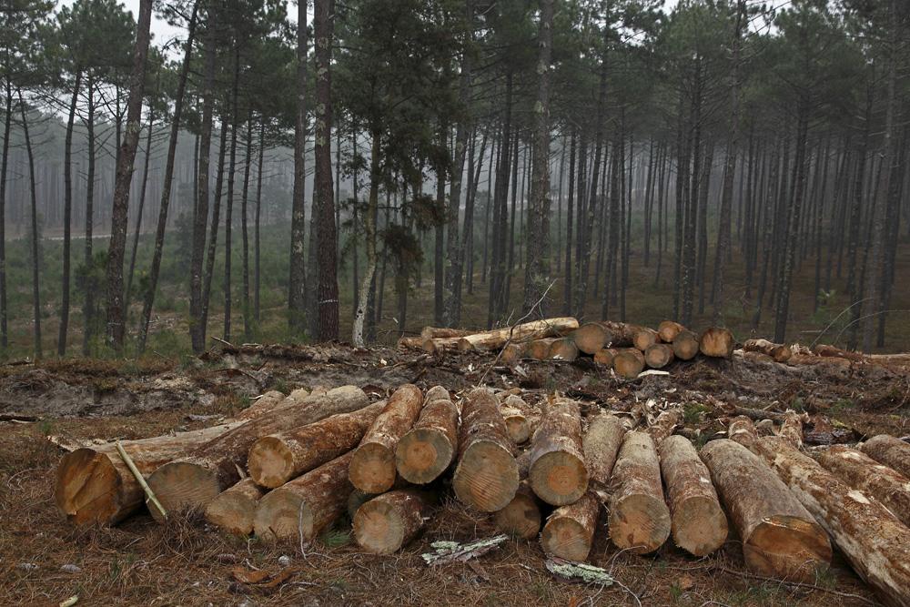 Abattage de pins malades !!