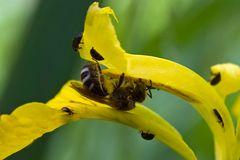 Abeille au lis (Halictidae Lasioglossum)