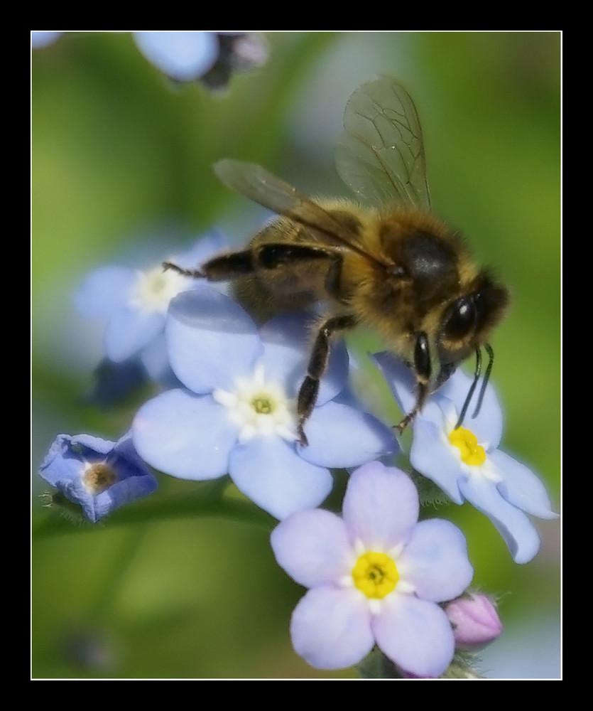 abeille au myosotis