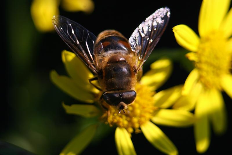 abeille au travail