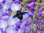 abeille charpentiere