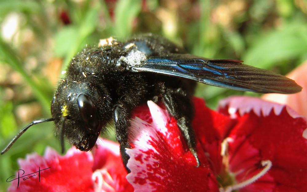 abeille charpentière (merci à Marc)