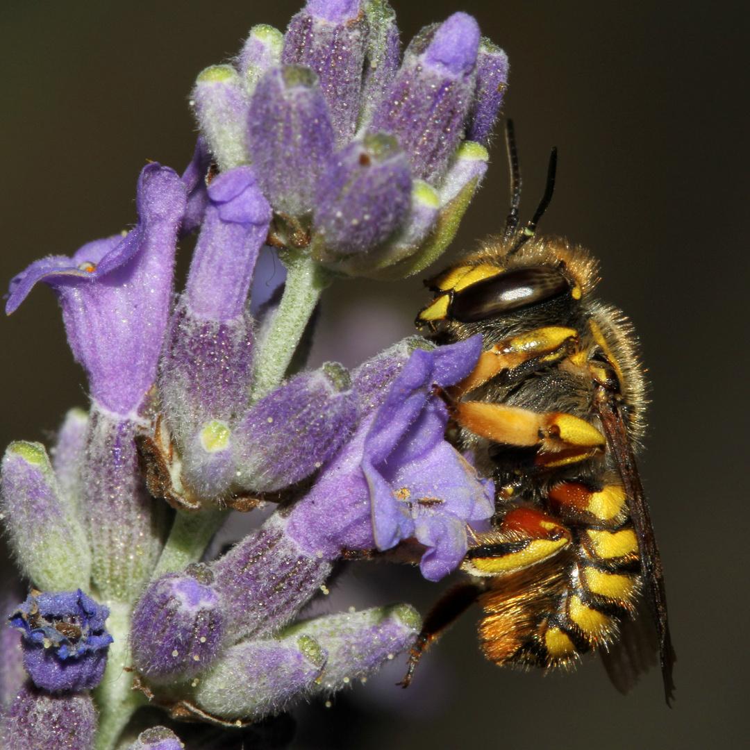 abeille cotonneuse