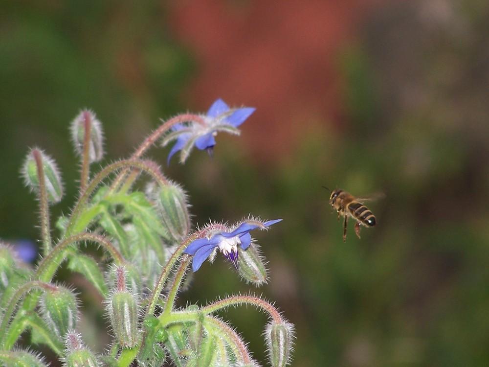 abeille et bourache 2
