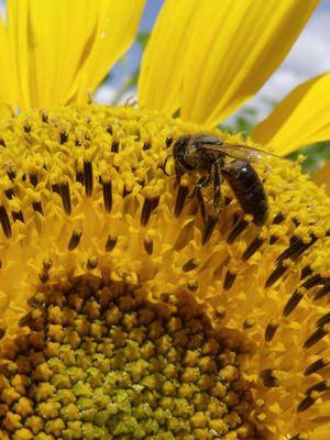 abeille qui butine un tounesol
