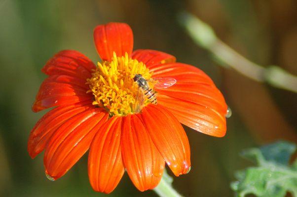 abeille sur fleur des champs
