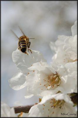 Abeille sur fleurs de cerisier