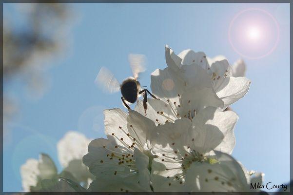 Abeille sur fleurs de cerisier en contre jour