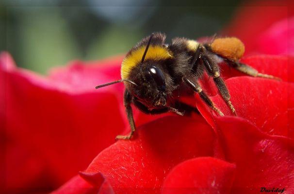 abeille sur une rose