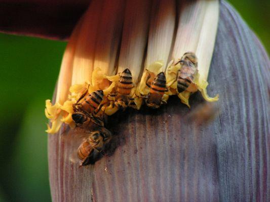 abeilles et fleur de bananier