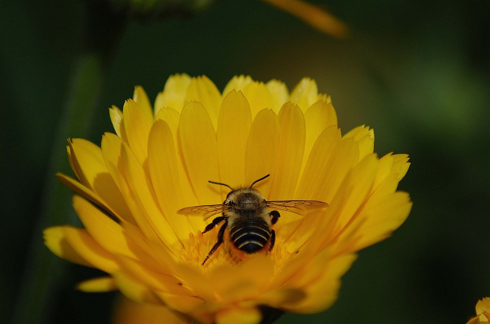 abeja aus Chile