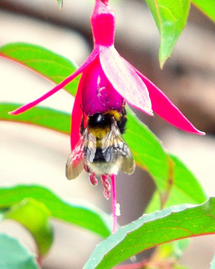 abeja glotona