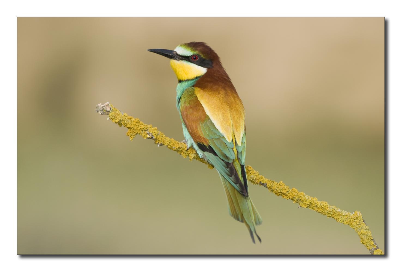 Abejaruco (Merops apiaster) 2012-I