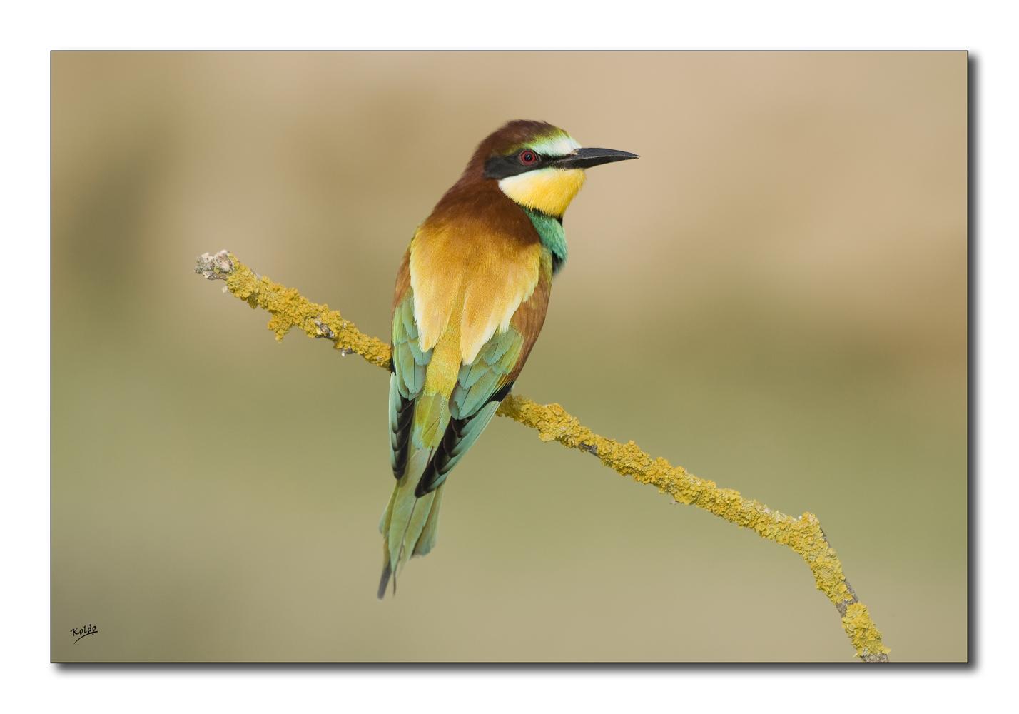Abejaruco (Merops apiaster) 2012-II