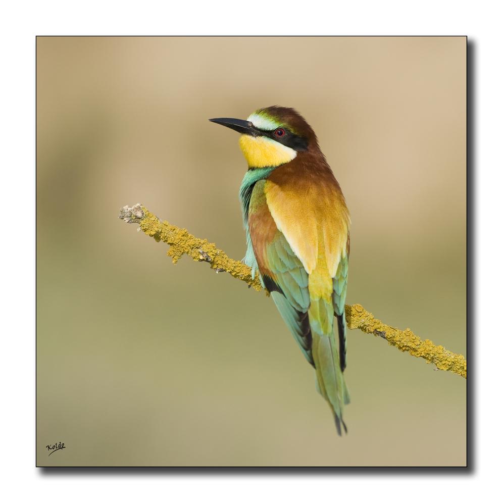 Abejaruco (Merops apiaster) 2012-III