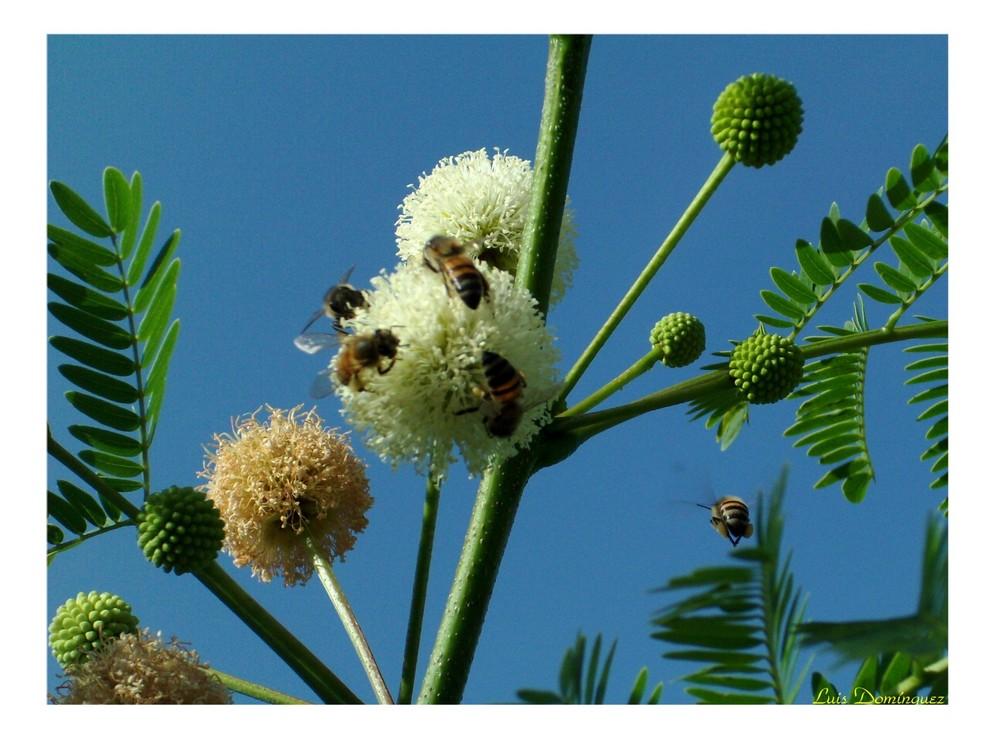 Abejas recolectando polen