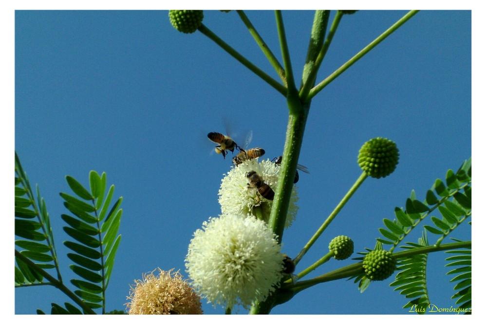 Abejas recolectando polen I I