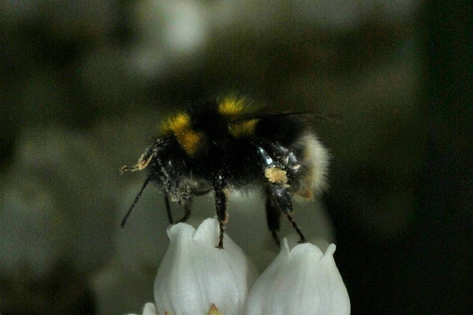 Abejorro buscando polen