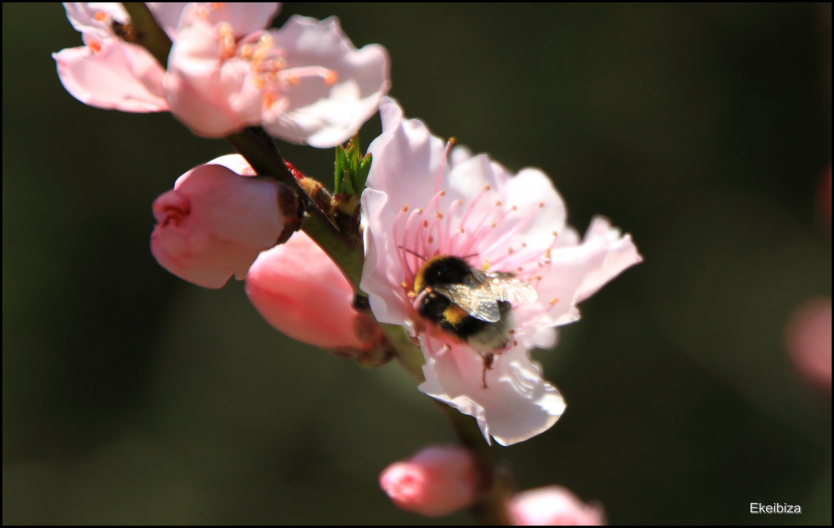 abejorro