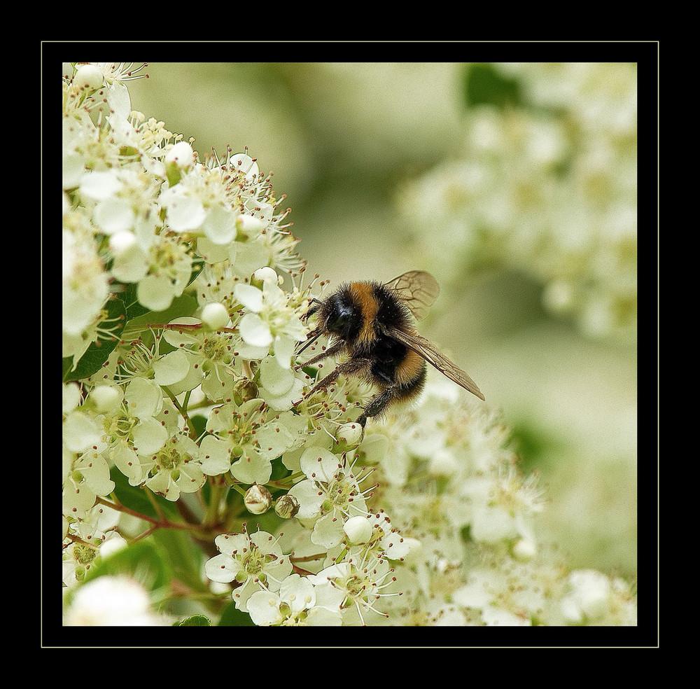 Abejorro sobre Flor de Espino